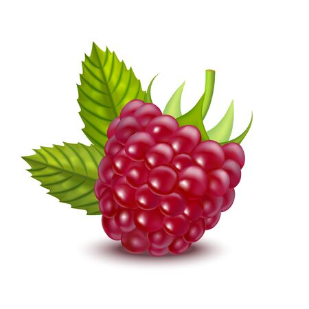 Realistic Detailed Ripe Red Raspberry Berry. Vector