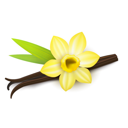 Realistic Detailed 3d Vanilla Flower and Pods Isolated. Vector Vettoriali