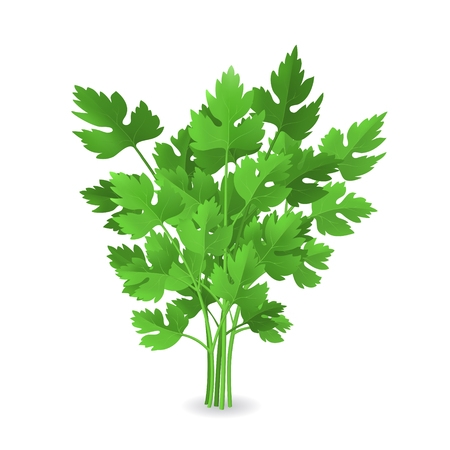 Realistic Detailed 3d Green Raw Parsley. Vettoriali