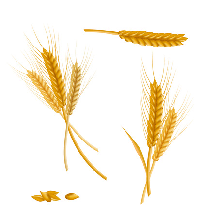 Realistic detailed color wheat ear vector illustration.