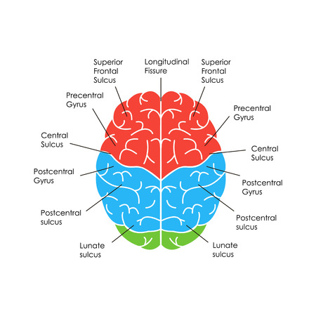 Human Brain Anatomy Card Poster.