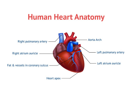 Realistic Detailed 3d Human Anatomy Heart Card Poster. Vector  イラスト・ベクター素材