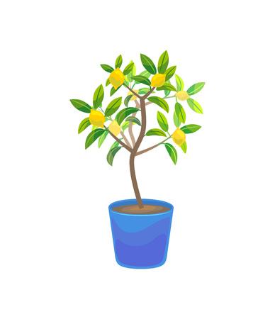 Plant Growing Lemon Tree in Pot.