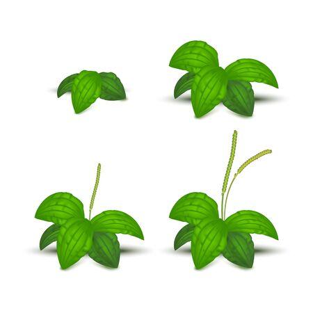 Realistic Detailed 3d Green Leaves Plantago Major Set Organic Nature Medicinal Herb . Vector illustration of Healthy Plantain Foliage