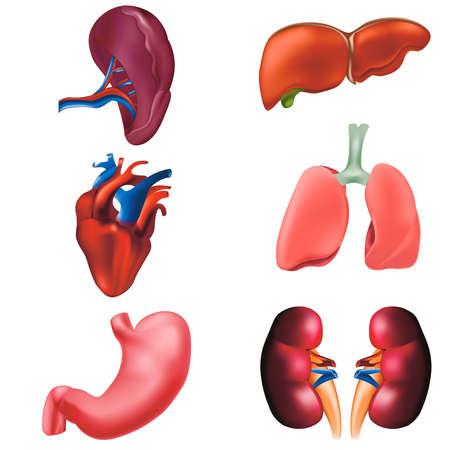 Realistic Detailed 3d Human Internal Organs Set. Vector