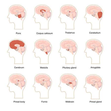 Cartoon Color Human Brain Components Icons Set. Vector Ilustración de vector