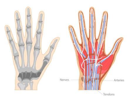 Cartoon Color Hand Anatomy Concept Banner Poster Card. Vector Vector Illustration