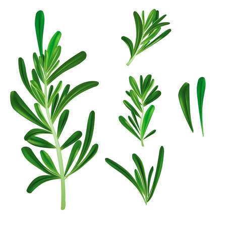 Realistic Detailed 3d Rosemary Culinary Herb Branch Set. Vector