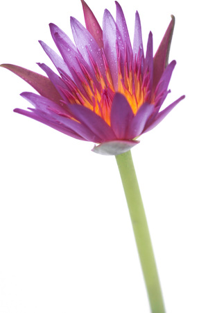 A beautiful isolated pink lotus starting to bloom
