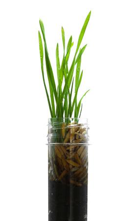 seeding: Seeding paddy rice in the glass tube Stock Photo