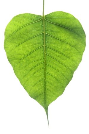 peepal tree: Banyan Tree young leaf, Ficus Religiosa plant