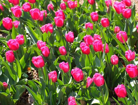 graden: Red tulip in blooming in the graden Stock Photo