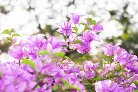 color bougainvillea: Pink bougainvillea flowers blooms in soft color and blur style for background