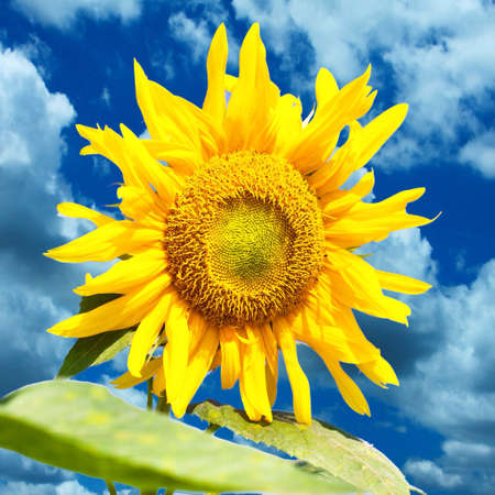 bright: Sunflower blooming in summer time in bright sky  Stock Photo