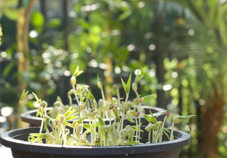 mung bean sprout: New life plant growing tamarind sprout in the pot