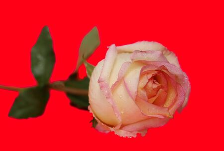 background red: Rose Blume isoliert auf dem roten Hintergrund