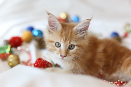 Cat Maine Coon kitten lying and playing with Christmas decoration in blur background