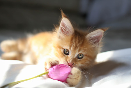 Littel red Maine Coon kitten playing wirh the flower Archivio Fotografico