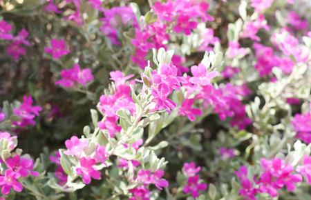 stamin: Beautiful pink purple flower blooming against green leaves background Stock Photo