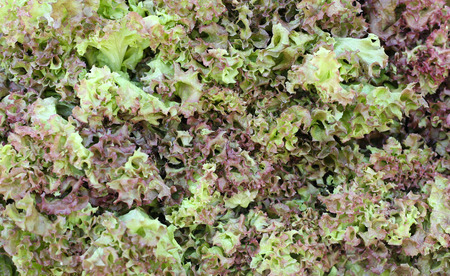 gree: Fresh Gree and Red Leaf Lettuce background