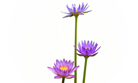 asian culture: Purple lily flower lotus in three level in  white background  in Asian culture.
