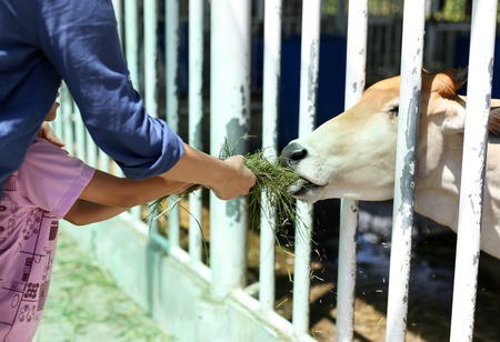 reach out: Mum and doughter hand reach out feeding cow on meadow in a farm
