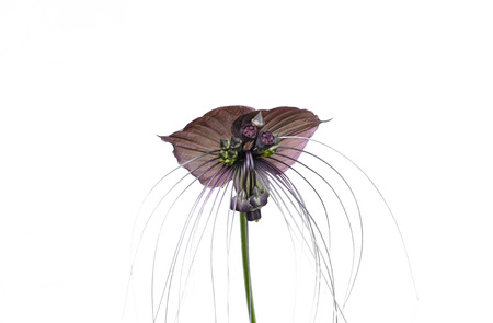 bracts large: Tacca chantieri var macrantha, black bat flower isolated in white background Stock Photo
