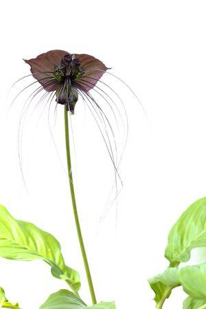Tacca chantieri var macrantha, black bat flower isolated in white background Stock Photo