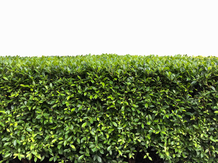 Green hedge with fetus isolated on white background