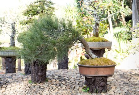 bonsai tree: Bonsai tree against in the garden Stock Photo