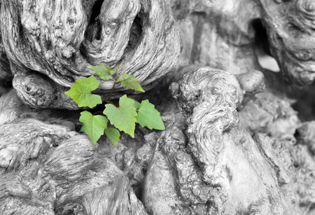 Ecology concept and success as an old cut down tree and a strong new life plant growing