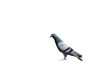 Beautiful full body wild pigeon isolated on white Stock Photo