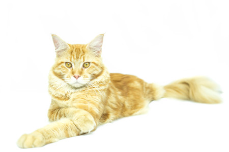 maine coon: Cat Maine Coon breed lying in isolated on white background Stock Photo