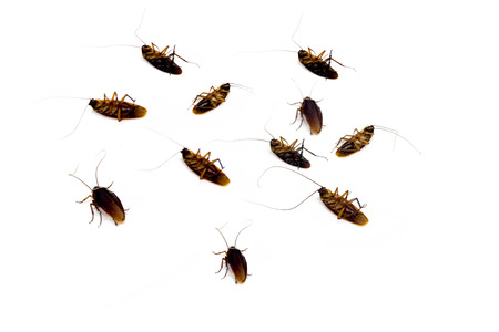 ead: Group of dead ead cockroach isolated on white background
