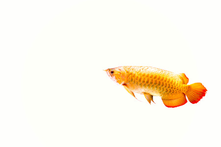 dragon swim: Red Arowana or Dragon fish isolated in white backgroud
