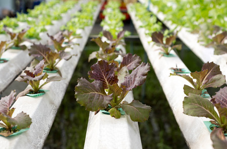 Nature Fresh lettuce in Organic hydroponic vegetable cultivation farm Stock Photo