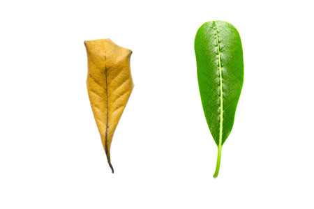 dryness: Concept of skincare and aging growth moisturizing cream, tree leaves of different age isolated on white background