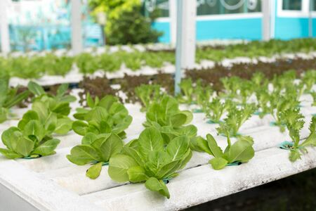 conservatory: Nature Fresh lettuce in Organic hydroponic vegetable cultivation farm Stock Photo