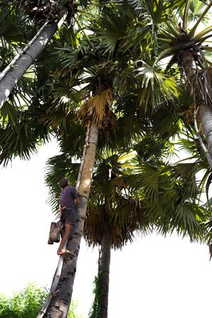 Unidentified man climbing a sugar palm tree isolarted in white background