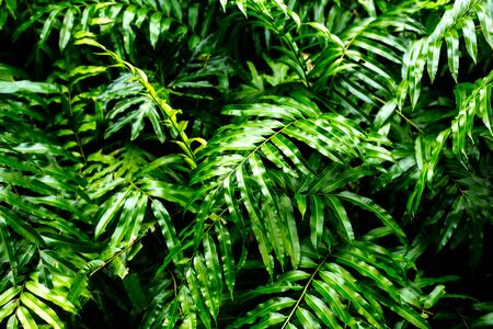 High contrast concept background and texture of green color fern leaves  bush in forest