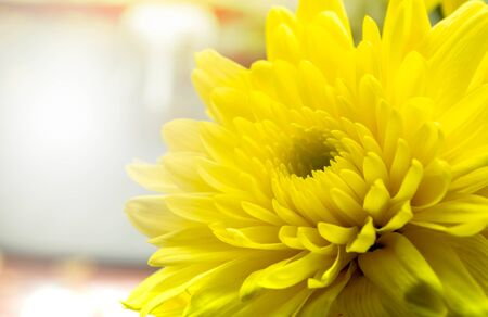 Soft focus Yellow chrysanthemum flower with sunlight in background Stock Photo