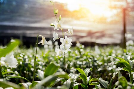 Beautiful white orchid flower with sunlight flare in orachid farm
