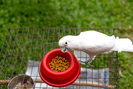 White parrot standing on the bird net having food outdoor