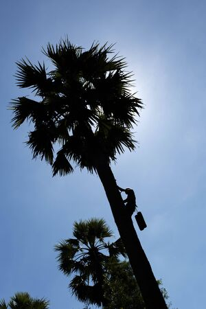 Unidentified 70 year old man climbing a sugar palm tree in Thailand