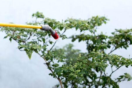 fungicide: Farmer spraying insecticide on chilli plant in the green house