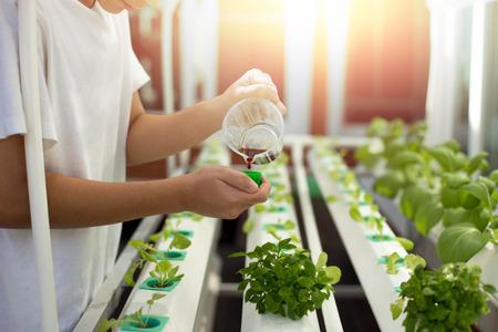 La mano con fertiliza en el crecimiento hidropónico orgánico de la verdura en granja de la agricultura con la llamarada de la luz del sol Foto de archivo - 69904662