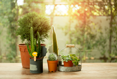 Group of small cactus in a pot with sunset light in background