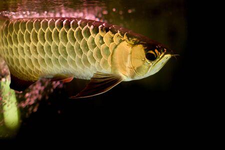 Golden arowana fish or dragon fish in fish tank isolated in black background Stock Photo