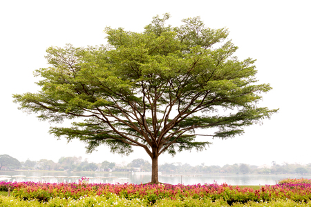 Terminalia ivorensis Chev tree on the lake with colorful flower