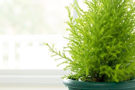 Lemon Cypress plant in green pot next to window 写真素材